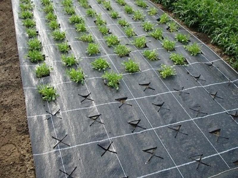 Мульчирование пленкой - отличный способ бороться с травой на огороде