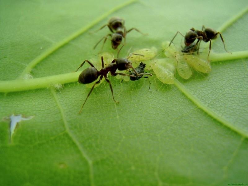 Муравьи пасут личинок тли и помогают ей размножаться