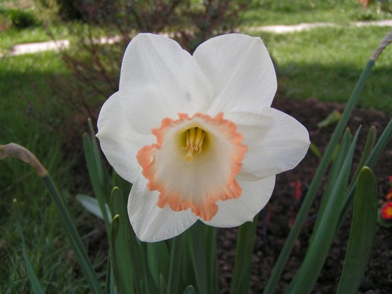 Нарцисс крупнокорончатый Спринг Прайд