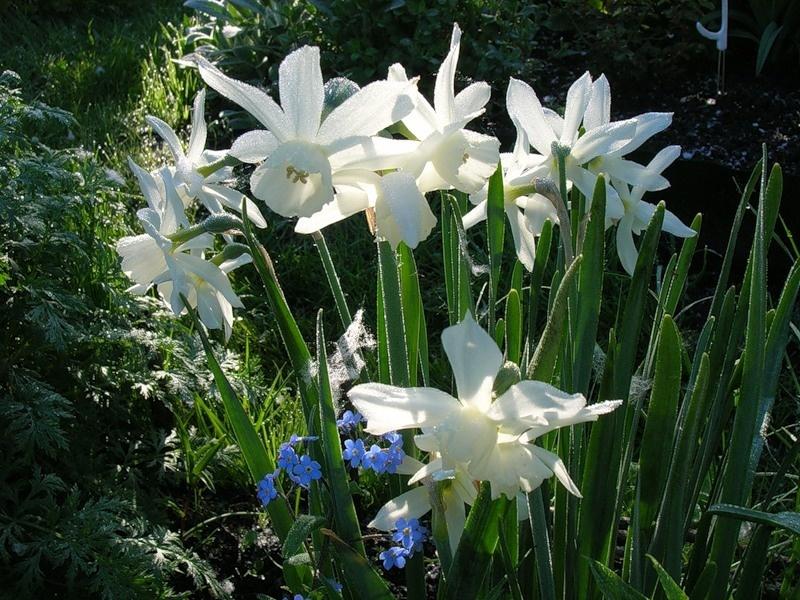 Нарцисс триандрус сорта Талиа