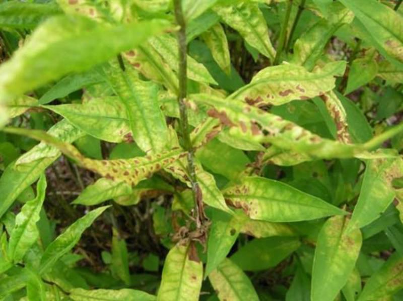 Некротическая пятнистость листьев флоксов