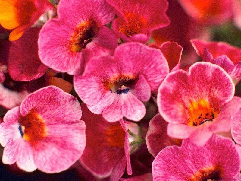 Немезия для цветущего мавританского газона