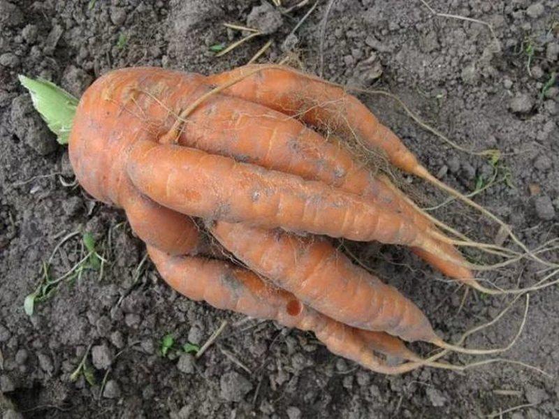 Перенасыщение органикой и азотистыми удобрениями приводит к изменению формы моркови