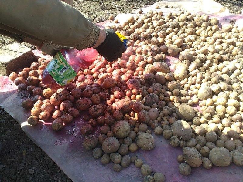 Обработка картофеля перед посадкой от колорадского жука Престижем