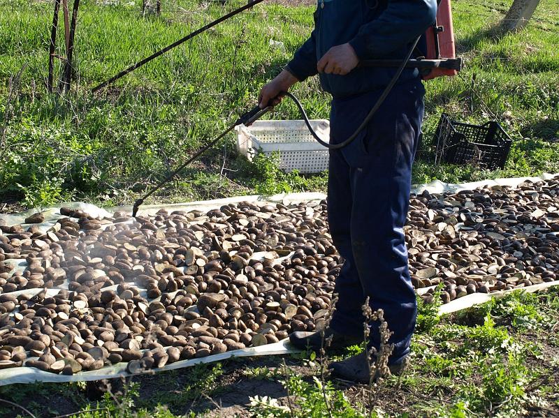 Обработка картофеля Престижем перед посадкой
