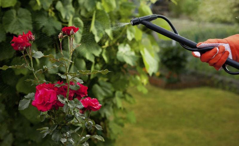 Обработка кустов роз специальными растворами