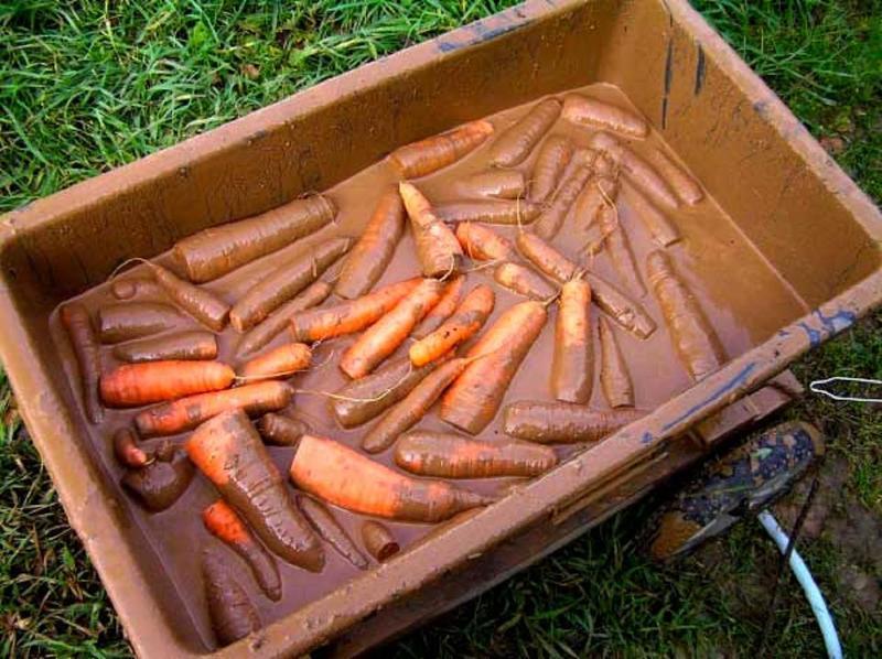 Обработка моркови глиняной болтушкой для хранения