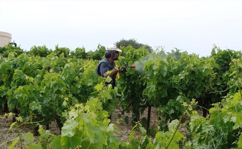 Обработка винограда фунгицидами летом