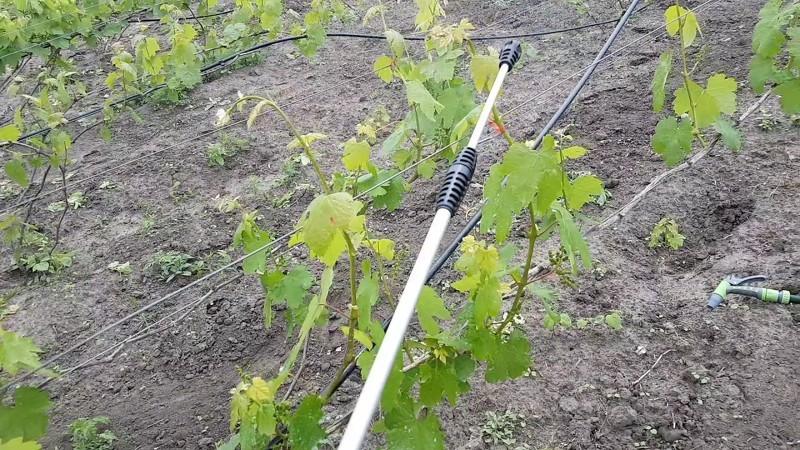Обработка винограда весной содовым раствором
