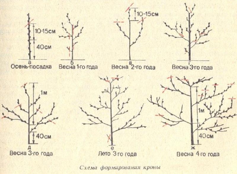 Обрезка абрикоса: схема формирования чаши