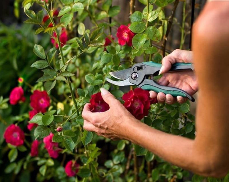 Обрезка бутонов плетистой розы