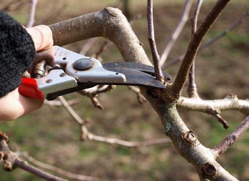 Обрезку черешни проводят весной до набухания почек