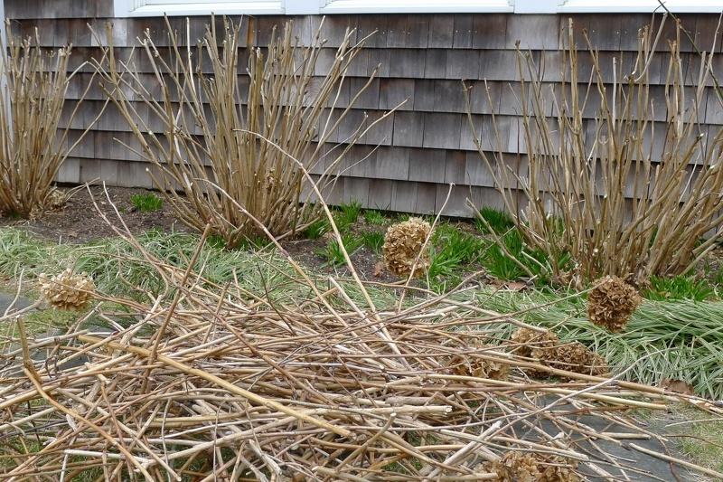 Гортензия уход осенью подготовка к зиме