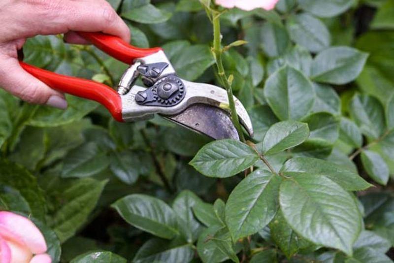 Обрезка и уход за розами в горшках