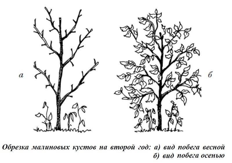 Лучшие сорта малинового дерева: посадка и уход