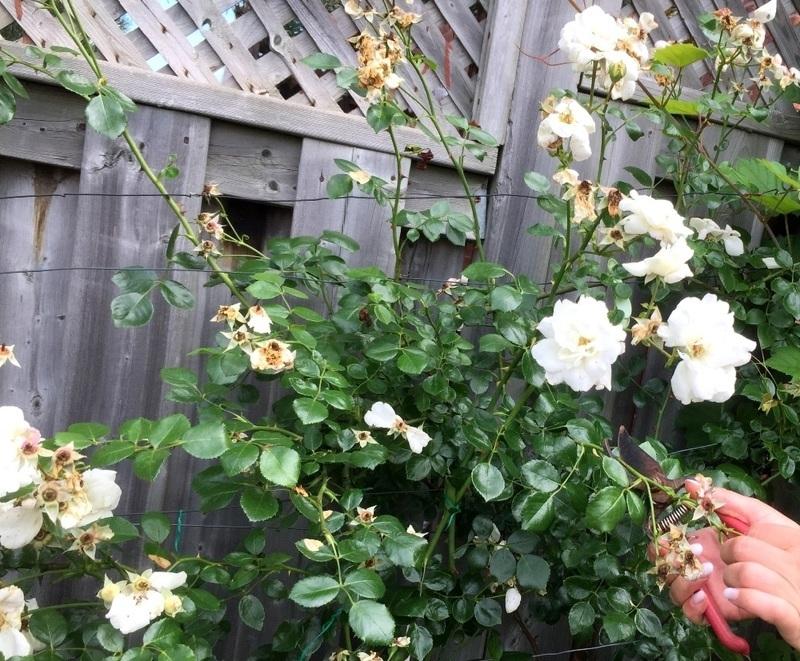Обрезка отцветших бутонов роз на Анну