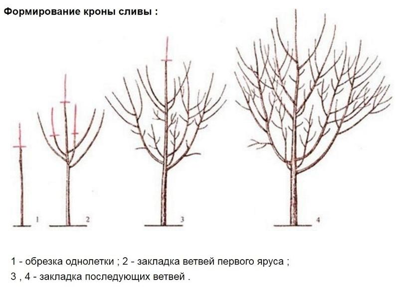 Как обрезать сливу весной схема фото 840