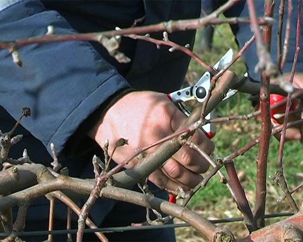 Регулярная обрезка винограда способствует хорошему доступу воздуха и света и сокращает вероятность заболеваний