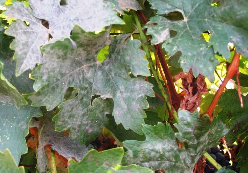 Оидиум поражает как плоды так и листья винограда