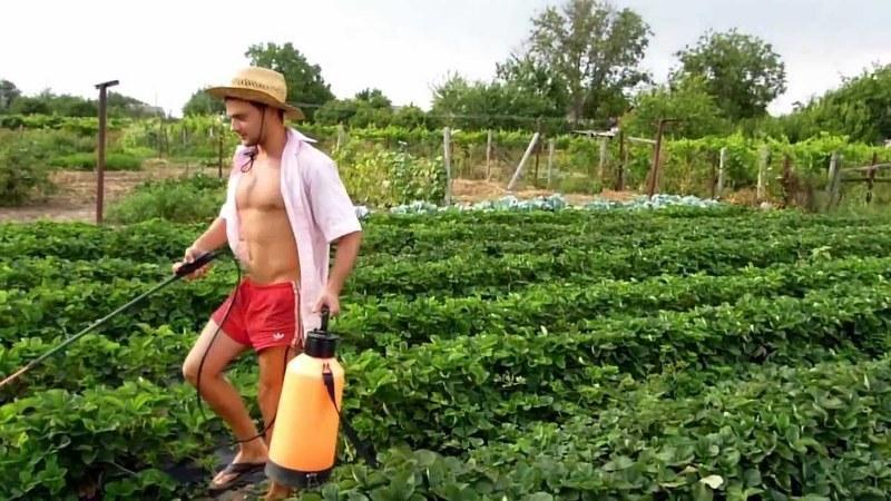Опрыскивание клубники гербицидами