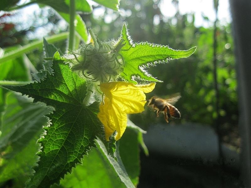 Опыление цветков кабачков насекомыми
