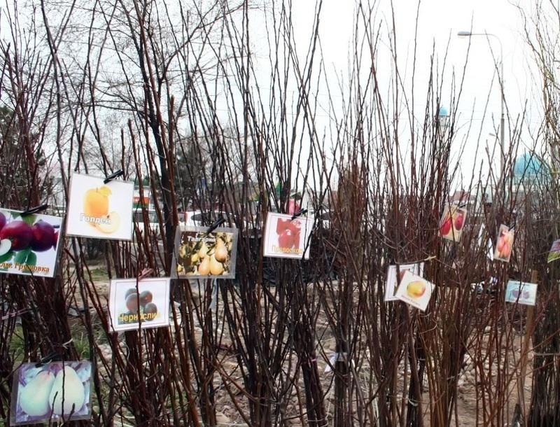 Как правильно выбрать саженцы плодовых деревьев, на что обратить внимание