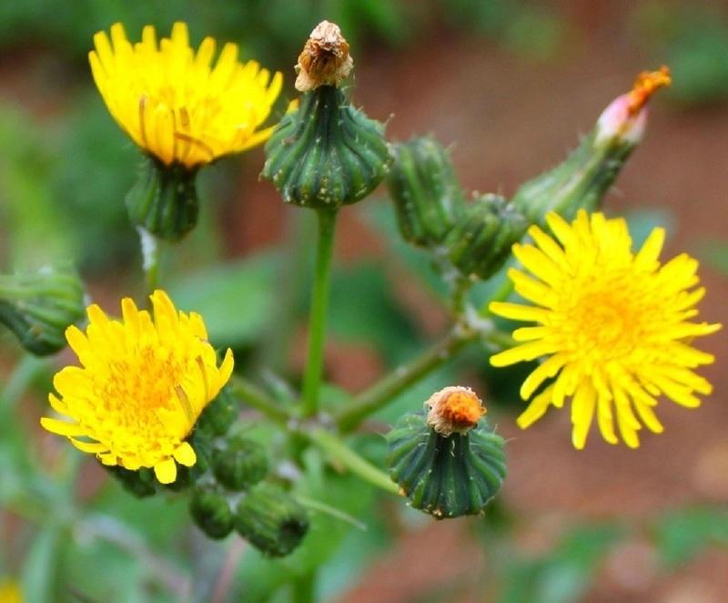 Осот полевой во время цветения
