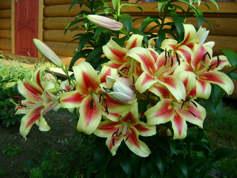 Лилии Шокинг идеально будут смотреться в любом саду