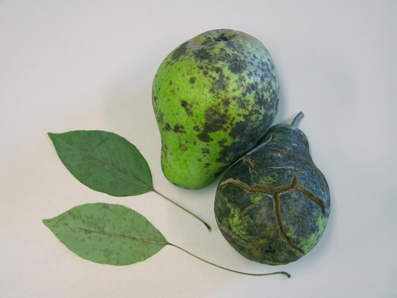 Парша - болезнь груши при которой плоды покрываются пятнами