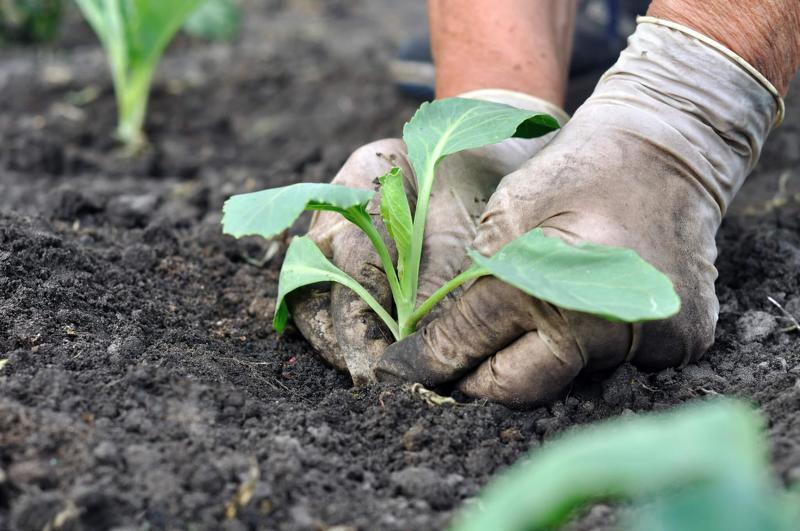 Высаживание капусты в открытый грунт