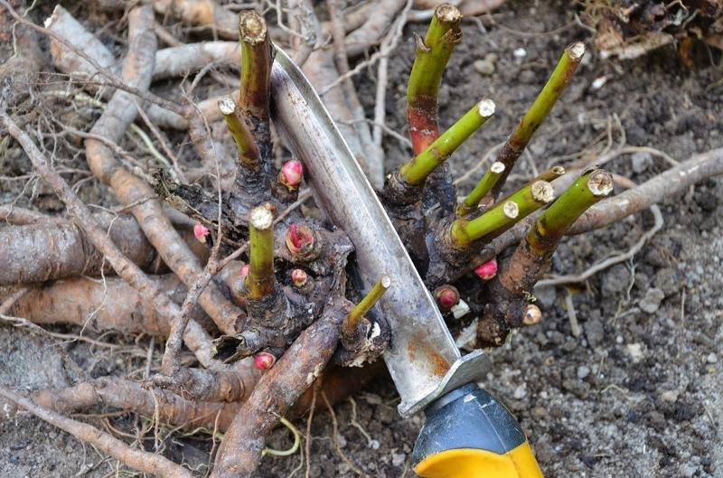 Пересадку пионов совмещают с делением куста для омолаживания и размножения