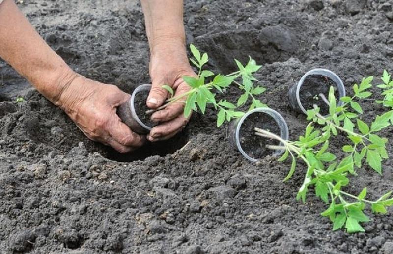 Рассаду томатов вынимают вместе с мокрым земляным комом