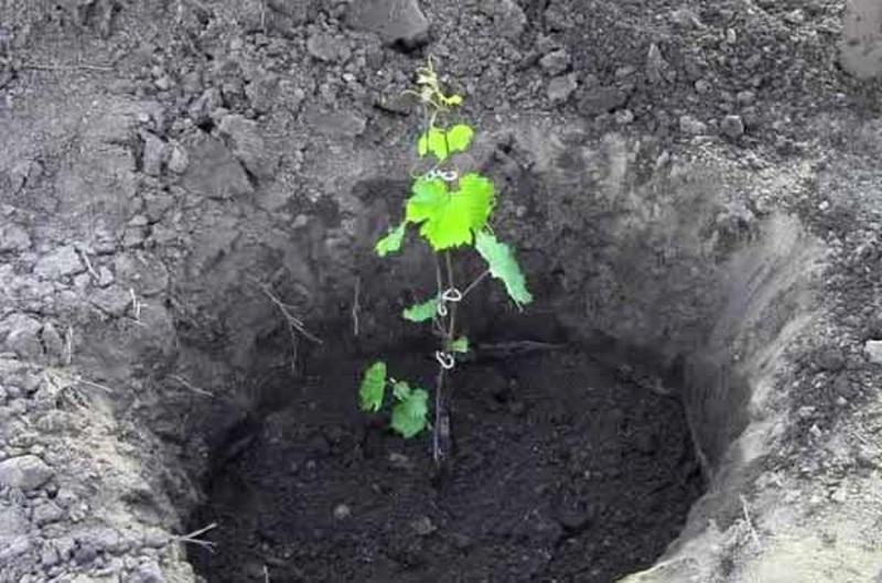 Пересадка саженца винограда в открытый грунт