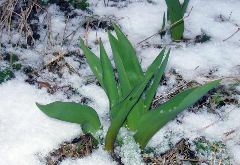 Первые ростки тюльпанов появляются ранней весной