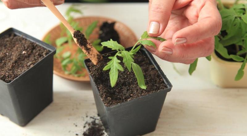 Пикирование и рассаживание помидорной рассады