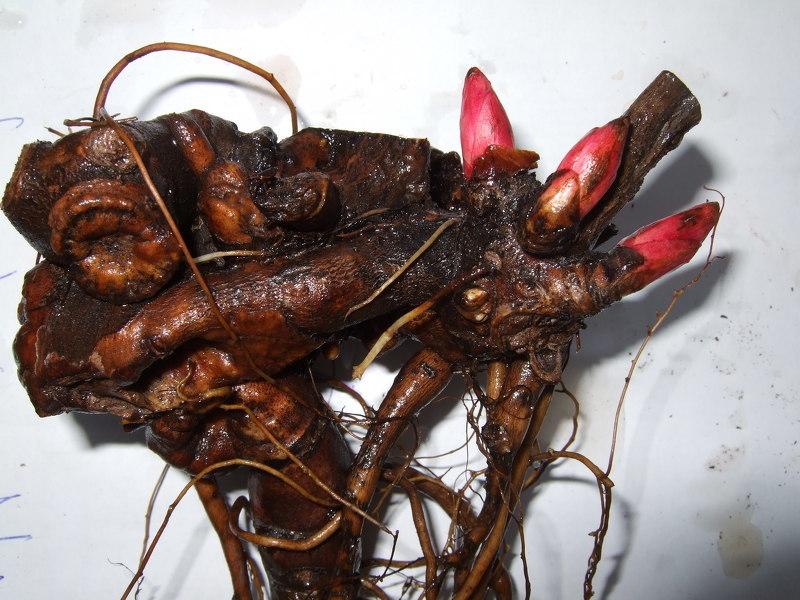 Пионы, размножение корневыми черенками