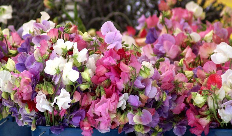Горошек душистый поражает разнообразием цветов