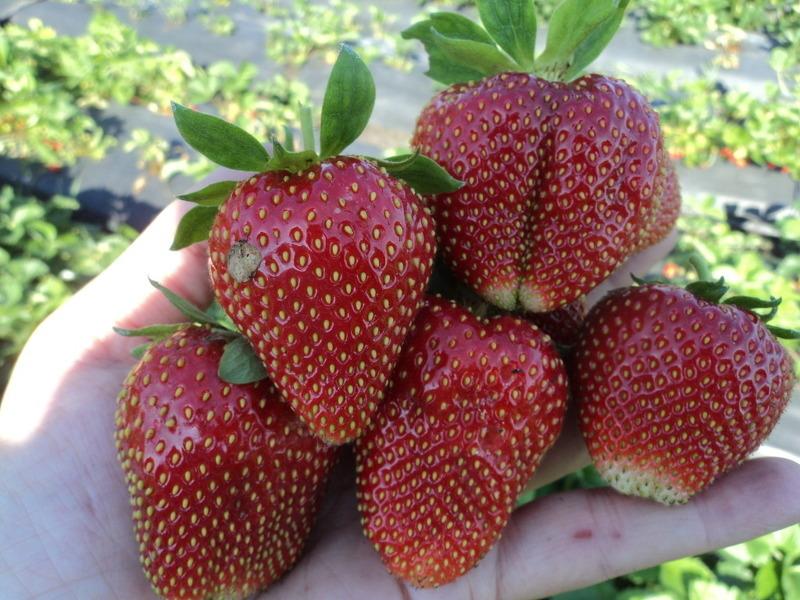 Вима Рина - сорт клубники с крупными, сладкими ягодами родился в Голландии