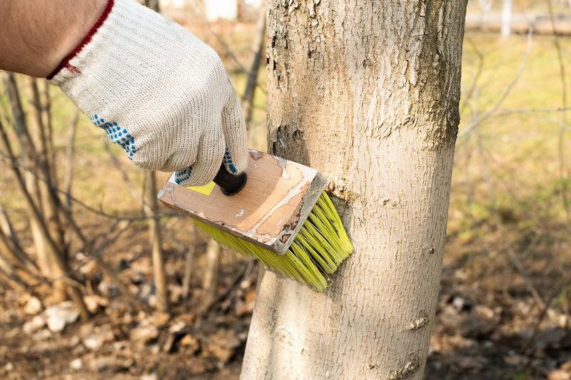 Побелка деревьев для защиты от солнечных ожогов