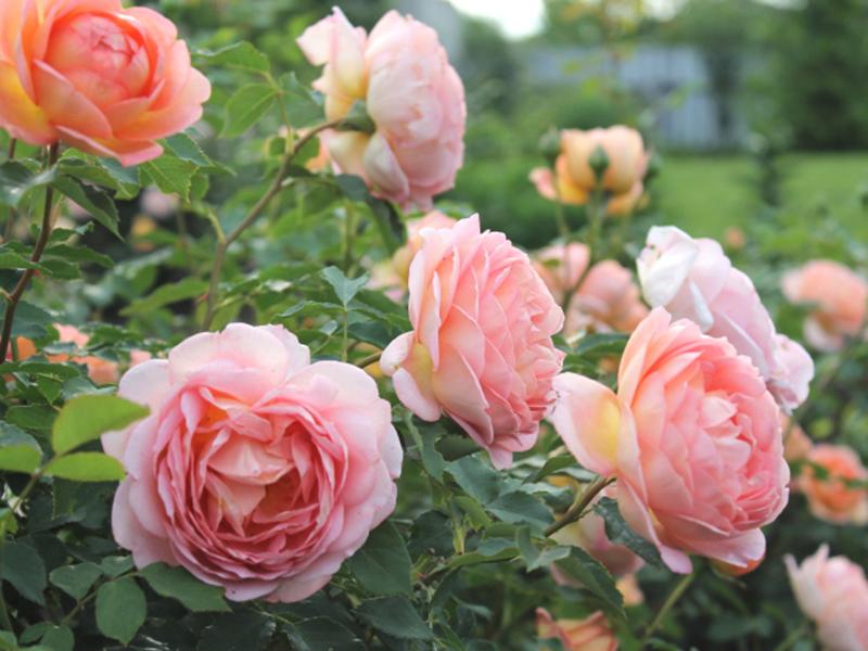 Лучшие сорта почвопокровных роз в дизайне сада: советы по уходу и фото