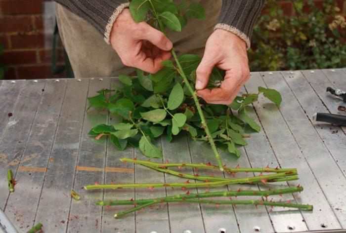 Заготовка черенков розы в саду