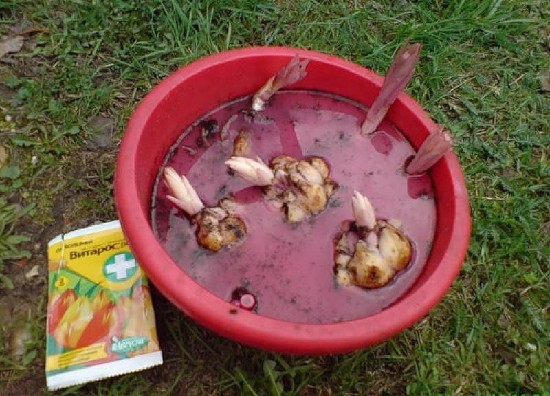 Как сажать проросшие луковицы лилий осенью 61