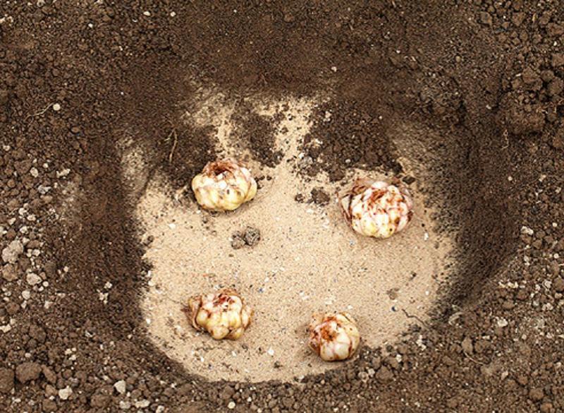 Подготовка почвы для посадки лилий