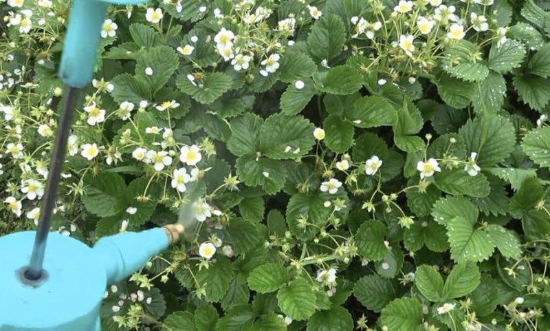 Подкормка клубники в период цветения