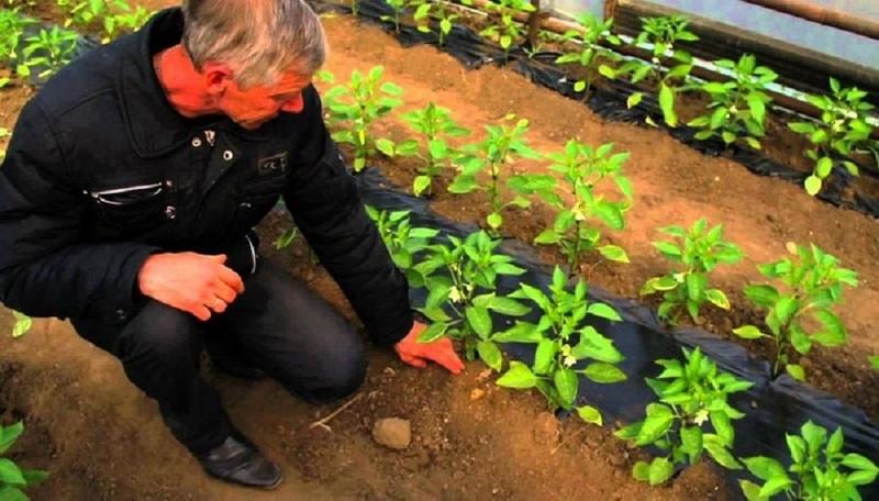 Можно ли сажать табак с помидорами 82