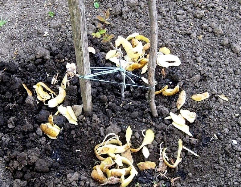 Удобрение смородины сырыми картофельными очистками