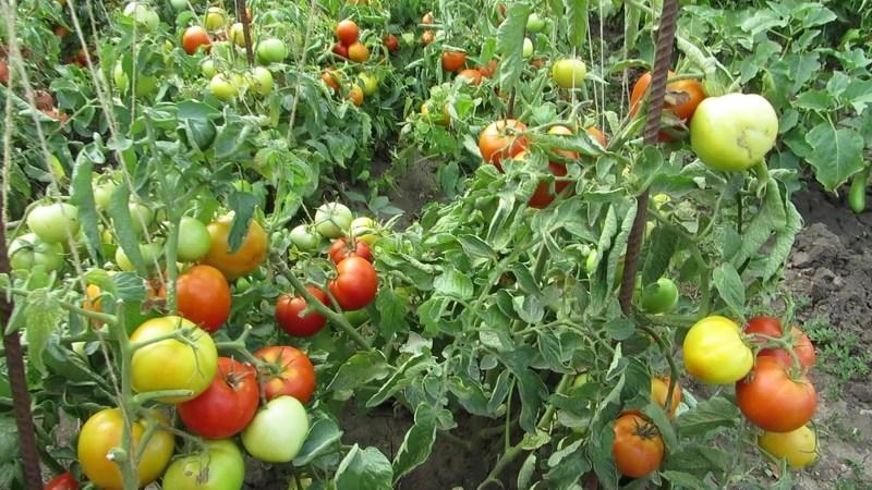 Подкормка томатов необходима для полноценного развития кустов