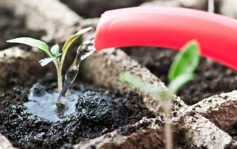 Удобрение рассады томатов