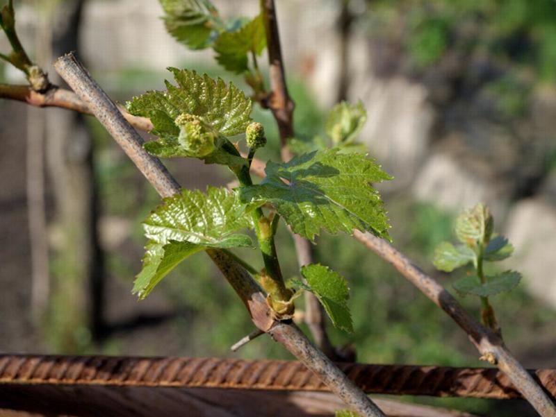Первая и вторая подкормка винограда способствует формированию кистей и закладке плодов