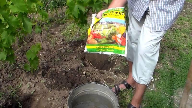 Подкормка винограда суперфосфатом